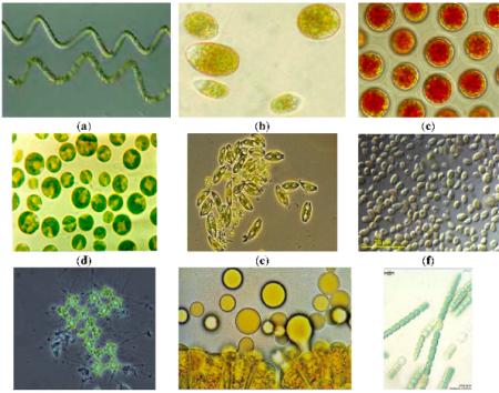 Souches de microalgues